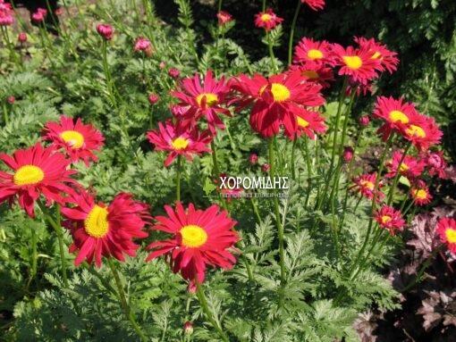 τανασέτο, πόα, θάμνος, Tanacetum robinson's red, Καρποφόρο δέντρο   Φυτώρια/Γεωπονικές Επιχειρήσεις Χορομίδης: γλάστρες, φυτά, καρποφόρα, αειθαλή, φυτοχώματα, λιπάσματα, εργαλεία και είδη κήπου   Horomidis Agronomic Corp. Flower pots, plants, garden utensils and supplies, evergreens, fruit trees, fertilizer, soil