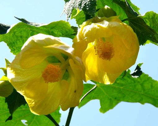 αβουτιλο, θάμνος, Abutilon hybridum, Καρποφόρο δέντρο | Φυτώρια/Γεωπονικές Επιχειρήσεις Χορομίδης: γλάστρες, φυτά, καρποφόρα, αειθαλή, φυτοχώματα, λιπάσματα, εργαλεία και είδη κήπου | Horomidis Agronomic Corp. Flower pots, plants, garden utensils and supplies, evergreens, fruit trees, fertilizer, soil