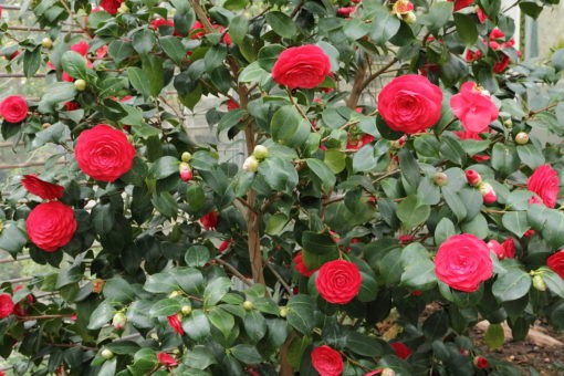 καμέλια, θάμνος,Camellia japonica, Καρποφόρο δέντρο | Φυτώρια/Γεωπονικές Επιχειρήσεις Χορομίδης: γλάστρες, φυτά, καρποφόρα, αειθαλή, φυτοχώματα, λιπάσματα, εργαλεία και είδη κήπου | Horomidis Agronomic Corp. Flower pots, plants, garden utensils and supplies, evergreens, fruit trees, fertilizer, soil