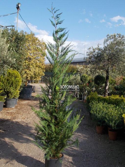 CUPRESSOCYPARIS LEYLANDII (ΛΕΪΛΑΝΤ) | Φυτώρια/Γεωπονικές Επιχειρήσεις Χορομίδης: γλάστρες, φυτά, καρποφόρα, αειθαλή, φυτοχώματα, λιπάσματα, εργαλεία και είδη κήπου | Horomidis Agronomic Corp. Flower pots, plants, garden utensils and supplies, evergreens, fruit trees, fertilizer, soil