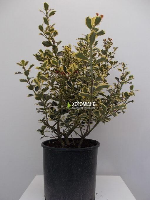 γκυ, ίλεξ, αρκουδοπουρναρο, κωνοφόρο, δένδρο, θάμνος, ilex aquifolium, Καρποφόρο δέντρο | Φυτώρια/Γεωπονικές Επιχειρήσεις Χορομίδης: γλάστρες, φυτά, καρποφόρα, αειθαλή, φυτοχώματα, λιπάσματα, εργαλεία και είδη κήπου | Horomidis Agronomic Corp. Flower pots, plants, garden utensils and supplies, evergreens, fruit trees, fertilizer, soil