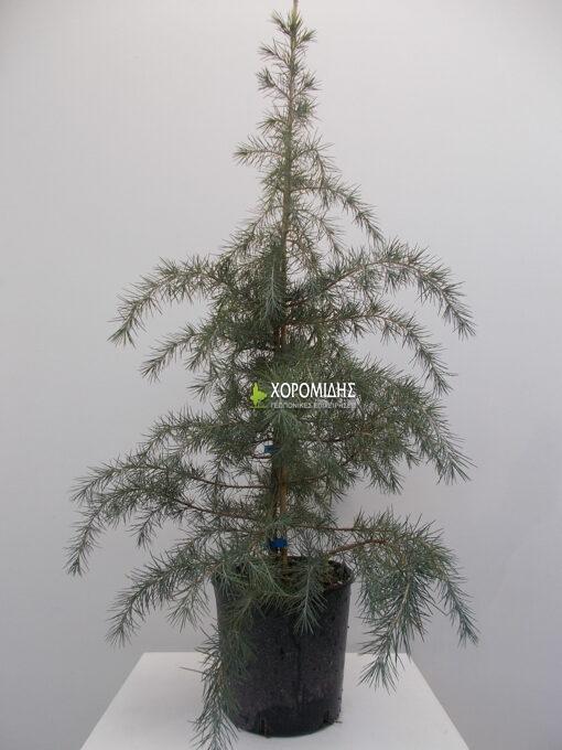κέδρος ντεονταρα, ιμαλαίων, κωνοφόρο, δένδρο, θάμνος, cedrus deodara, Καρποφόρο δέντρο | Φυτώρια/Γεωπονικές Επιχειρήσεις Χορομίδης: γλάστρες, φυτά, καρποφόρα, αειθαλή, φυτοχώματα, λιπάσματα, εργαλεία και είδη κήπου | Horomidis Agronomic Corp. Flower pots, plants, garden utensils and supplies, evergreens, fruit trees, fertilizer, soil