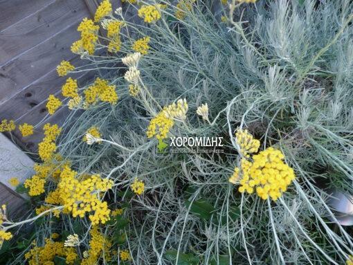 HELICHRYSUM ITALICUM SEROTINUM (ΙΤΑΛΙΚΟ ΕΛΙΧΡΥΣΟ) Αρωματικά | Φυτώρια /Γεωπονικές Επιχειρήσεις Χορομίδης: γλάστρες, φυτά , καρποφόρα, αειθαλή, φυτοχώματα, λιπάσματα, εργαλεία και είδη κήπου | Horomidis Agronomic Corp. Flower pots, plants, garden utensils and supplies, evergreens, fruit trees, fertilizer, soil