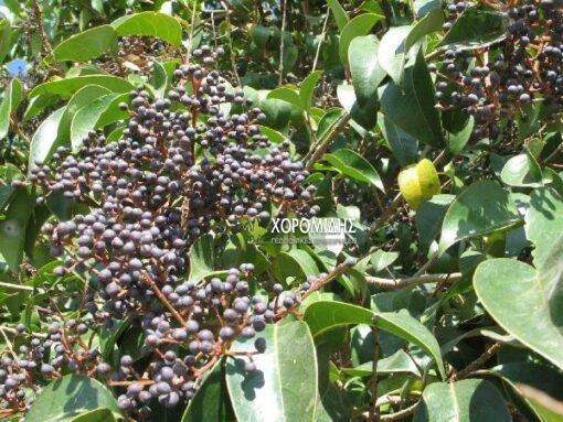 λιγούστρο, θάμνος, Ligustrum japonicum, αειθαλής θάμνος, ΔΑΦΝΗ, κίτρινα άνθη, μαγείρεμα, παραθαλάσσιες περιοχές, σκουροπράσινο αρωματικό φύλλωμα, Καρποφόρο δέντρο | Φυτώρια/Γεωπονικές Επιχειρήσεις Χορομίδης: γλάστρες, φυτά, καρποφόρα, αειθαλή, φυτοχώματα, λιπάσματα, εργαλεία και είδη κήπου | Horomidis Agronomic Corp. Flower pots, plants, garden utensils and supplies, evergreens, fruit trees, fertilizer, soil