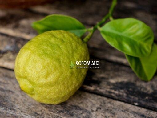 Citrus bergamia (ΠΕΡΓΑΜΟΝΤΟ)| Φυτώρια/Γεωπονικές Επιχειρήσεις Χορομίδης: γλάστρες, φυτά, καρποφόρα, αειθαλή, φυτοχώματα, λιπάσματα, εργαλεία και είδη κήπου | Horomidis Agronomic Corp. Flower pots, plants, garden utensils and supplies, evergreens, fruit trees, fertilizer, soil