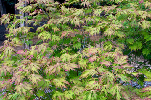 ACER ACONITIFOLIUM(ΣΦΕΝΔΑΜΙ ΙΑΠΩΝΙΚΟ), Καρποφόρο δέντρο | Φυτώρια/Γεωπονικές Επιχειρήσεις Χορομίδης: γλάστρες, φυτά, καρποφόρα, αειθαλή, φυτοχώματα, λιπάσματα, εργαλεία και είδη κήπου | Horomidis Agronomic Corp. Flower pots, plants, garden utensils and supplies, evergreens, fruit trees, fertilizer, soil