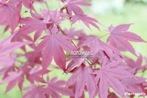 ACER BLOOD GOOD,ΣΦΕΝΔΑΜΙ ΜΠΛΑΝΤ ΓΚΟΥΝΤ, Καρποφόρο δέντρο | Φυτώρια/Γεωπονικές Επιχειρήσεις Χορομίδης: γλάστρες, φυτά, καρποφόρα, αειθαλή, φυτοχώματα, λιπάσματα, εργαλεία και είδη κήπου | Horomidis Agronomic Corp. Flower pots, plants, garden utensils and supplies, evergreens, fruit trees, fertilizer, soil
