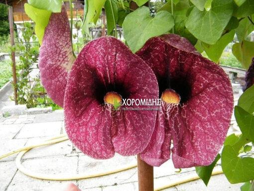 ΑRISTOLOCHIA GIGANTEA(ΑΡΙΣΤΟΛΟΧΙΑ ΓΙΓΑΝΤΙΑ), Καρποφόρο δέντρο | Φυτώρια/Γεωπονικές Επιχειρήσεις Χορομίδης: γλάστρες, φυτά, καρποφόρα, αειθαλή, φυτοχώματα, λιπάσματα, εργαλεία και είδη κήπου | Horomidis Agronomic Corp. Flower pots, plants, garden utensils and supplies, evergreens, fruit trees, fertilizer, soil