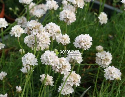 ARMERIA MARITIMA ALBA (ΑΡΜΕΡΙΑ), Ποώδη| Φυτώρια/Γεωπονικές Επιχειρήσεις Χορομίδης: γλάστρες, φυτά, καρποφόρα, αειθαλή, φυτοχώματα, λιπάσματα, εργαλεία και είδη κήπου | Horomidis Agronomic Corp. Flower pots, plants, garden utensils and supplies, evergreens, fruit trees, fertilizer, soil