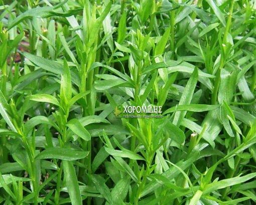 Artemisia dracunculus, Αρτεμισία η δρακόντειος, εστραγκόν, Καρποφόρο δέντρο | Φυτώρια/Γεωπονικές Επιχειρήσεις Χορομίδης: γλάστρες, φυτά, καρποφόρα, αειθαλή, φυτοχώματα, λιπάσματα, εργαλεία και είδη κήπου | Horomidis Agronomic Corp. Flower pots, plants, garden utensils and supplies, evergreens, fruit trees, fertilizer, soil