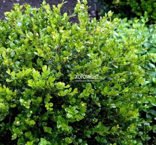μπούξους, πυξάρι, θάμνος,Buxus sempervirens faulkner, Καρποφόρο δέντρο | Φυτώρια/Γεωπονικές Επιχειρήσεις Χορομίδης: γλάστρες, φυτά, καρποφόρα, αειθαλή, φυτοχώματα, λιπάσματα, εργαλεία και είδη κήπου | Horomidis Agronomic Corp. Flower pots, plants, garden utensils and supplies, evergreens, fruit trees, fertilizer, soil