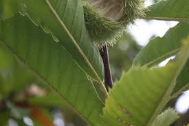καστανιά, castano sativa Καρποφόρο δέντρο | Φυτώρια/Γεωπονικές Επιχειρήσεις Χορομίδης: γλάστρες, φυτά, καρποφόρα, αειθαλή, φυτοχώματα, λιπάσματα, εργαλεία και είδη κήπου | Horomidis Agronomic Corp. Flower pots, plants, garden utensils and supplies, evergreens, fruit trees, fertilizer, soil