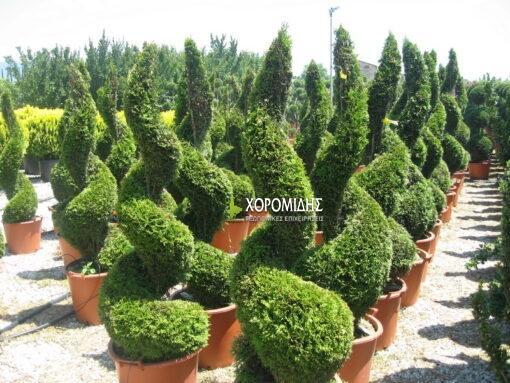 Cupressocyparis castlewelland gold spiral (ΛΕΙΛΑΝΤ ΧΡΥΣΟ ΣΠΙΡΑΛ)| Φυτώρια/Γεωπονικές Επιχειρήσεις Χορομίδης: γλάστρες, φυτά, καρποφόρα, αειθαλή, φυτοχώματα, λιπάσματα, εργαλεία και είδη κήπου | Horomidis Agronomic Corp. Flower pots, plants, garden utensils and supplies, evergreens, fruit trees, fertilizer, soil