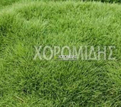 ZOYSIA TENUIFOLIA(ΖΩΙΣΙΑ), Καρποφόρο δέντρο | Φυτώρια/Γεωπονικές Επιχειρήσεις Χορομίδης: γλάστρες, φυτά, καρποφόρα, αειθαλή, φυτοχώματα, λιπάσματα, εργαλεία και είδη κήπου | Horomidis Agronomic Corp. Flower pots, plants, garden utensils and supplies, evergreens, fruit trees, fertilizer, soil