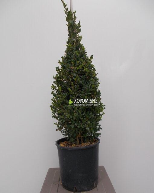 BUXUS SEMPERVIRENS FAULKNER PYRAMIDALIS (ΠΥΞΑΡΙ Ή ΜΠΟΥΞΟΥΣ ΠΥΡΑΜΙΔΑ)| Φυτώρια/Γεωπονικές Επιχειρήσεις Χορομίδης: γλάστρες, φυτά, καρποφόρα, αειθαλή, φυτοχώματα, λιπάσματα, εργαλεία και είδη κήπου | Horomidis Agronomic Corp. Flower pots, plants, garden utensils and supplies, evergreens, fruit trees, fertilizer, soil