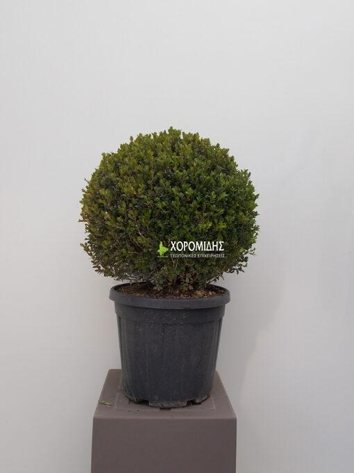 Buxus sempervirens faulkner palla (ΠΥΞΑΡΙ Ή ΜΠΟΥΞΟΥΣ ΣΦΑΙΡΑ)| Φυτώρια/Γεωπονικές Επιχειρήσεις Χορομίδης: γλάστρες, φυτά, καρποφόρα, αειθαλή, φυτοχώματα, λιπάσματα, εργαλεία και είδη κήπου | Horomidis Agronomic Corp. Flower pots, plants, garden utensils and supplies, evergreens, fruit trees, fertilizer, soil