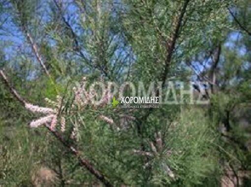 TAMARIX GALLICA (ΑΛΜΥΡΙΚΗ), Καρποφόρο δέντρο | Φυτώρια/Γεωπονικές Επιχειρήσεις Χορομίδης: γλάστρες , φυτά, καρποφόρα, αειθαλή, φυτοχώματα, λιπάσματα, εργαλεία και είδη κήπου | Horomidis Agronomic Corp. Flower pots, plants, garden utensils and supplies, evergreens, fruit trees, fertilizer, soil