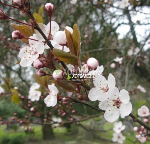 PRUNUS CERASIFERA PISSARDII NIGRA (ΠΡΟΥΝΟΣ Η ΚΑΛΛΩΠΙΣΤΙΚΗ ΔΑΜΑΣΚΗΝΙΑ), Καρποφόρο δέντρο | Φυτώρια/Γεωπονικές Επιχειρήσεις Χορομίδης: γλάστρες , φυτά, καρποφόρα, αειθαλή, φυτοχώματα, λιπάσματα, εργαλεία και είδη κήπου | Horomidis Agronomic Corp. Flower pots, plants, garden utensils and supplies, evergreens, fruit trees, fertilizer, soil