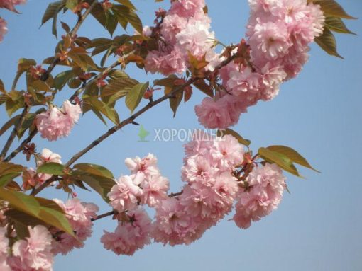 PRUNUS SERRULATA KANZAN (ΠΡΟΥΝΟΣ ΚΑΝΖΑΝ Η ΑΝΘΟΚΕΡΑΣΙΑ), Καρποφόρο δέντρο | Φυτώρια/Γεωπονικές Επιχειρήσεις Χορομίδης: γλάστρες , φυτά, καρποφόρα, αειθαλή, φυτοχώματα, λιπάσματα, εργαλεία και είδη κήπου | Horomidis Agronomic Corp. Flower pots, plants, garden utensils and supplies, evergreens, fruit trees, fertilizer, soil