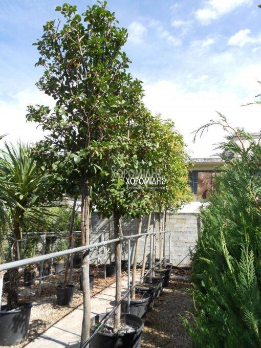 VIBURNUM LUCIDUM (ΒΙΒΟΥΡΝΟ ΛΟΥΣΙΝΤΟΥΜ) Αειθαλή καλλωπιστικά δένδρα| Φυτώρια/Γεωπονικές Επιχειρήσεις Χορομίδης: γλάστρες, φυτά, καρποφόρα, αειθαλή, φυτοχώματα, λιπάσματα, εργαλεία και είδη κήπου | Horomidis Agronomic Corp. Flower pots, plants, garden utensils and supplies, evergreens, fruit trees, fertilizer, soil