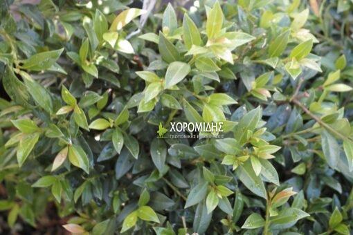 ευγένια, θάμνος, Eugenia myrtifolia newport, Καρποφόρο δέντρο | Φυτώρια/Γεωπονικές Επιχειρήσεις Χορομίδης: γλάστρες, φυτά, καρποφόρα, αειθαλή, φυτοχώματα, λιπάσματα, εργαλεία και είδη κήπου | Horomidis Agronomic Corp. Flower pots, plants, garden utensils and supplies, evergreens, fruit trees, fertilizer, soil