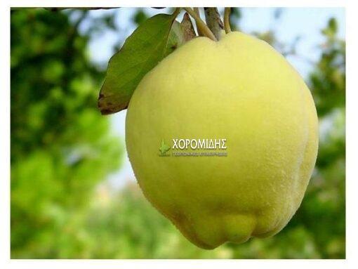 Cydonia vulgaris (ΚΥΔΩΝΙ)| Φυτώρια/Γεωπονικές Επιχειρήσεις Χορομίδης: γλάστρες, φυτά, καρποφόρα, αειθαλή, φυτοχώματα, λιπάσματα, εργαλεία και είδη κήπου | Horomidis Agronomic Corp. Flower pots, plants, garden utensils and supplies, evergreens, fruit trees, fertilizer, soil
