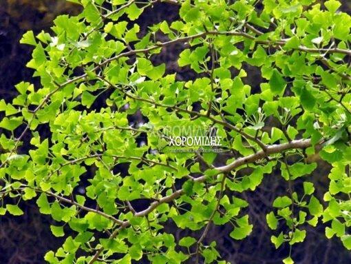 GINKGO BILOBA,ΓΚΙΝΓΚΟ ΜΠΙΛΟΜΠΑ,| Φυτώρια/Γεωπονικές Επιχειρήσεις Χορομίδης: γλάστρες, φυτά, καρποφόρα, αειθαλή, φυτοχώματα, λιπάσματα, εργαλεία και είδη κήπου | Horomidis Agronomic Corp. Flower pots, plants, garden utensils and supplies, evergreens, fruit trees, fertilizer, soil