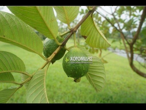 γκουάβα, Psidium guajava, Καρποφόρο δέντρο | Φυτώρια/Γεωπονικές Επιχειρήσεις Χορομίδης: γλάστρες, φυτά, καρποφόρα, αειθαλή, φυτοχώματα, λιπάσματα, εργαλεία και είδη κήπου | Horomidis Agronomic Corp. Flower pots, plants, garden utensils and supplies, evergreens, fruit trees, fertilizer, soil