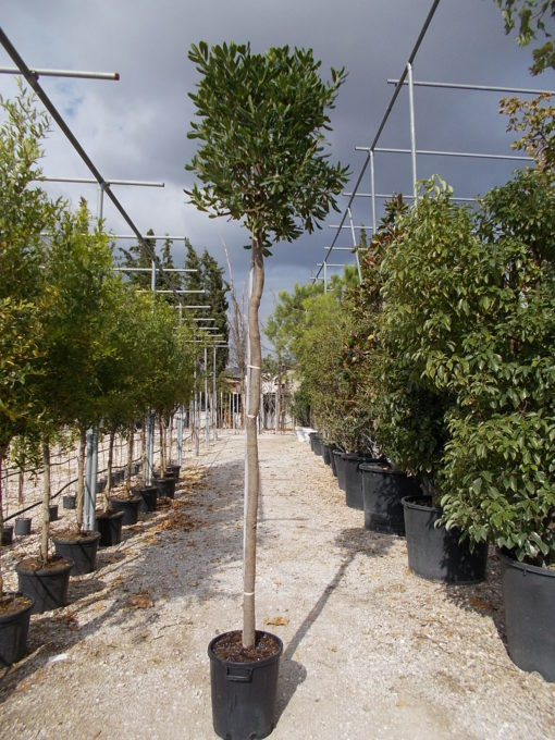 PITTOSPORUM TOBIRA TREE ALTO FUSTO (ΑΓΓΕΛΙΚΗ ΔΕΝΔΡΩΔΗΣ) Αειθαλής θάμνοι| Φυτώρια/Γεωπονικές Επιχειρήσεις Χορομίδης: γλάστρες, φυτά, καρποφόρα, αειθαλή, φυτοχώματα, λιπάσματα, εργαλεία και είδη κήπου | Horomidis Agronomic Corp. Flower pots, plants, garden utensils and supplies, evergreens, fruit trees, fertilizer, soil