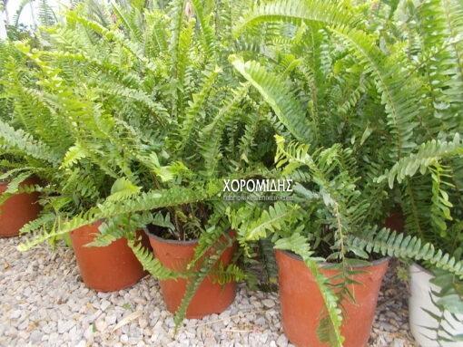 Φτέρη/ Φυτώρια/Γεωπονικές Επιχειρήσεις Χορομίδης: γλάστρες, φυτά, καρποφόρα, αειθαλή, φυτοχώματα, λιπάσματα, εργαλεία και είδη κήπου | Horomidis Agronomic Corp. Flower pots, plants, garden utensils and supplies, evergreens, fruit trees, fertilizer, soil