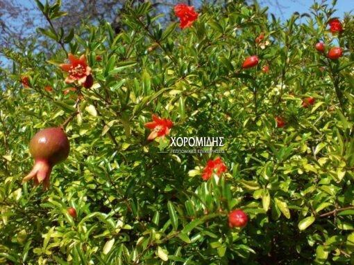 Punica granatum bush (ΡΟΔΙΑ ΘΑΜΝΩΔΗ)| Φυτώρια/Γεωπονικές Επιχειρήσεις Χορομίδης: γλάστρες, φυτά, καρποφόρα, αειθαλή, φυτοχώματα, λιπάσματα, εργαλεία και είδη κήπου | Horomidis Agronomic Corp. Flower pots, plants, garden utensils and supplies, evergreens, fruit trees, fertilizer, soil
