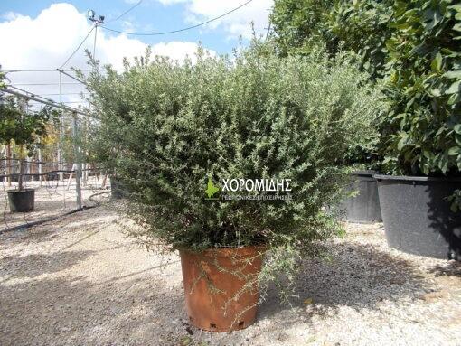 WESTRINGIA FRUTICOSA SQUARE (ΒΕΣΤΡΙΓΚΙΑ ΤΕΤΡΑΓΩΝΗ) | Φυτώρια/Γεωπονικές Επιχειρήσεις Χορομίδης: γλάστρες, φυτά, καρποφόρα, αειθαλή, φυτοχώματα, λιπάσματα, εργαλεία και είδη κήπου | Horomidis Agronomic Corp. Flower pots, plants, garden utensils and supplies, evergreens, fruit trees, fertilizer, soil