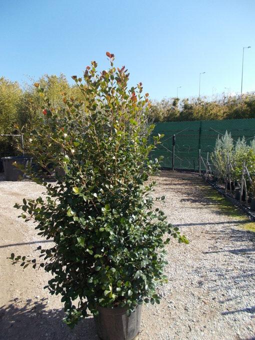 EUGENIA UNIFLORA ETNA FIRE (ΕΥΓΕΝΙΑ)   Φυτώρια/Γεωπονικές Επιχειρήσεις Χορομίδης: γλάστρες, φυτά, καρποφόρα, αειθαλή, φυτοχώματα, λιπάσματα, εργαλεία και είδη κήπου   Horomidis Agronomic Corp. Flower pots, plants, garden utensils and supplies, evergreens, fruit trees, fertilizer, soil