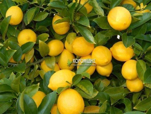 Citrus limon (ΛΕΜΟΝΙΑ) | Φυτώρια/Γεωπονικές Επιχειρήσεις Χορομίδης: γλάστρες, φυτά, καρποφόρα, αειθαλή, φυτοχώματα, λιπάσματα, εργαλεία και είδη κήπου | Horomidis Agronomic Corp. Flower pots, plants, garden utensils and supplies, evergreens, fruit trees, fertilizer, soil