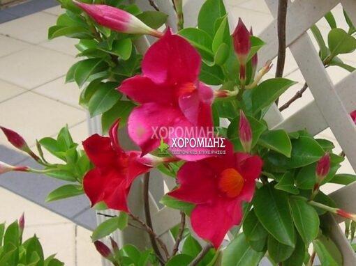 MANDEVILLA SPLENDENS (ΔΙΠΛΑΔΕΝΙΑ) | Φυτώρια/Γεωπονικές Επιχειρήσεις Χορομίδης: γλάστρες, φυτά, καρποφόρα, αειθαλή, φυτοχώματα, λιπάσματα, εργαλεία και είδη κήπου | Horomidis Agronomic Corp. Flower pots, plants, garden utensils and supplies, evergreens, fruit trees, fertilizer, soil