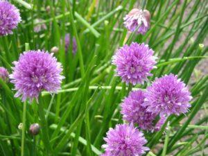 ALLIUM SCHOENOPRASUM (ΑΛΛΙΟΝ Ή ΣΧΟΙΝΟΠΡΑΣΟ) Φυτώρια/Γεωπονικές Επιχειρήσεις Χορομίδης: γλάστρες, φυτά, καρποφόρα, αειθαλή, φυτοχώματα, λιπάσματα, εργαλεία και είδη κήπου   Horomidis Agronomic Corp. Flower pots, plants, garden utensils and supplies, evergreens, fruit trees, fertilizer, soil