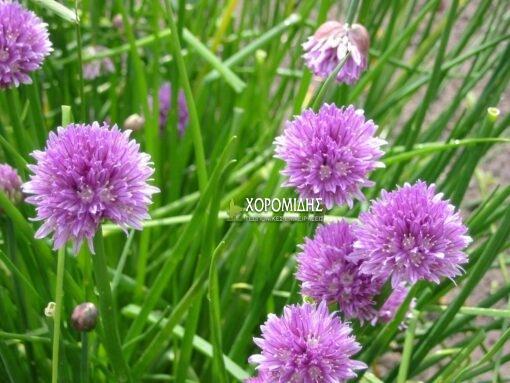 ALLIUM SCHOENOPRASUM (ΑΛΛΙΟΝ Ή ΣΧΟΙΝΟΠΡΑΣΟ) Φυτώρια/Γεωπονικές Επιχειρήσεις Χορομίδης: γλάστρες, φυτά, καρποφόρα, αειθαλή, φυτοχώματα, λιπάσματα, εργαλεία και είδη κήπου | Horomidis Agronomic Corp. Flower pots, plants, garden utensils and supplies, evergreens, fruit trees, fertilizer, soil