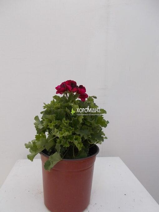 Πελαργόνι | Φυτώρια/Γεωπονικές Επιχειρήσεις Χορομίδης: γλάστρες, φυτά, καρποφόρα, αειθαλή, φυτοχώματα, λιπάσματα, εργαλεία και είδη κήπου | Horomidis Agronomic Corp. Flower pots, plants, garden utensils and supplies, evergreens, fruit trees, fertilizer, soil
