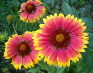 Gaillardia aristata (γκαϊλάρδια) | Φυτώρια/Γεωπονικές Επιχειρήσεις Χορομίδης: γλάστρες, φυτά, καρποφόρα, αειθαλή, φυτοχώματα, λιπάσματα, εργαλεία και είδη κήπου | Horomidis Agronomic Corp. Flower pots, plants, garden utensils and supplies, evergreens, fruit trees, fertilizer, soil