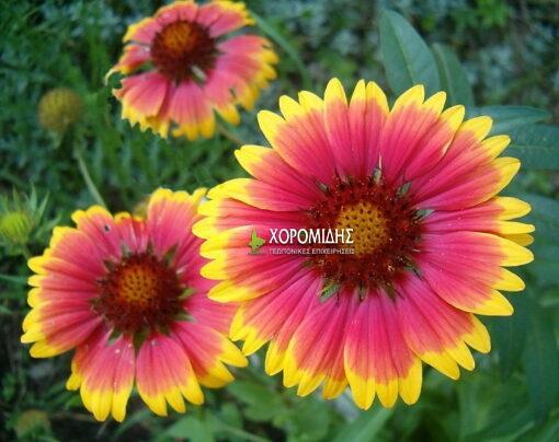 Gaillardia aristata (γκαϊλάρδια)   Φυτώρια/Γεωπονικές Επιχειρήσεις Χορομίδης: γλάστρες, φυτά, καρποφόρα, αειθαλή, φυτοχώματα, λιπάσματα, εργαλεία και είδη κήπου   Horomidis Agronomic Corp. Flower pots, plants, garden utensils and supplies, evergreens, fruit trees, fertilizer, soil