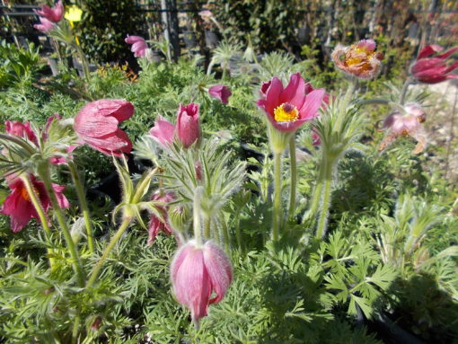PULSATILLA VULGARIS (ΑΝΕΜΩΝΗ Η ΠΟΥΛΣΑΤΙΛΗ) | Φυτώρια/Γεωπονικές Επιχειρήσεις Χορομίδης: γλάστρες, φυτά, καρποφόρα, αειθαλή, φυτοχώματα, λιπάσματα, εργαλεία και είδη κήπου | Horomidis Agronomic Corp. Flower pots, plants, garden utensils and supplies, evergreens, fruit trees, fertilizer, soil