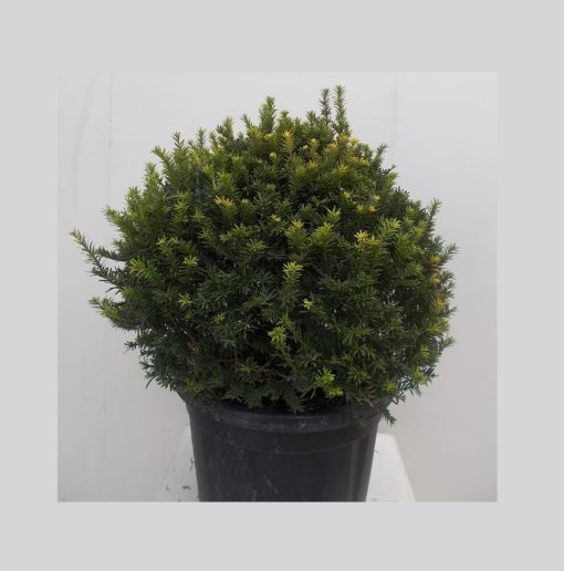 TAXUS BACCATA PALLA (ΤΑΞΟΣ Ή ΙΤΑΜΟΣ ΜΠΑΛΑ) / Φυτώρια/Γεωπονικές Επιχειρήσεις Χορομίδης: γλάστρες, φυτά, καρποφόρα, αειθαλή, φυτοχώματα, λιπάσματα, εργαλεία και είδη κήπου | Horomidis Agronomic Corp. Flower pots, plants, garden utensils and supplies, evergreens, fruit trees, fertilizer, soil