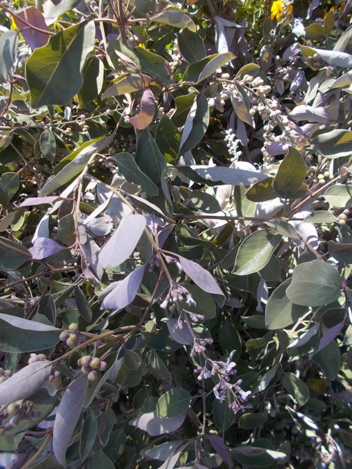 κόκκινη λυγαριά/ Φυτώρια/Γεωπονικές Επιχειρήσεις Χορομίδης: γλάστρες, φυτά, καρποφόρα, αειθαλή, φυτοχώματα, λιπάσματα, εργαλεία και είδη κήπου | Horomidis Agronomic Corp. Flower pots, plants, garden utensils and supplies, evergreens, fruit trees, fertilizer, soil