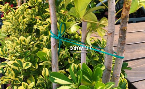 Κορδόνι pvc πράσινο/ Γεωπονικές Επιχειρήσεις Χορομίδης: γλάστρες, φυτά, καρποφόρα, αειθαλή, φυτοχώματα, λιπάσματα, εργαλεία και είδη κήπου | Horomidis Agronomic Corp. Flower pots, plants, garden utensils and supplies, evergreens, fruit trees, fertilizer, soil