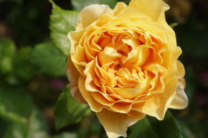 ROSA CENTIFOLIA (ΤΡΙΑΝΤΑΦΥΛΛΙΑ ΕΚΑΤΟΦΥΛΛΗ, ΠΟΛΥ ΑΡΩΜΑΤΙΚΗ) / Γεωπονικές Επιχειρήσεις Χορομίδης: γλάστρες, φυτά, καρποφόρα, αειθαλή, φυτοχώματα, λιπάσματα, εργαλεία και είδη κήπου | Horomidis Agronomic Corp. Flower pots, plants, garden utensils and supplies, evergreens, fruit trees, fertilizer, soil