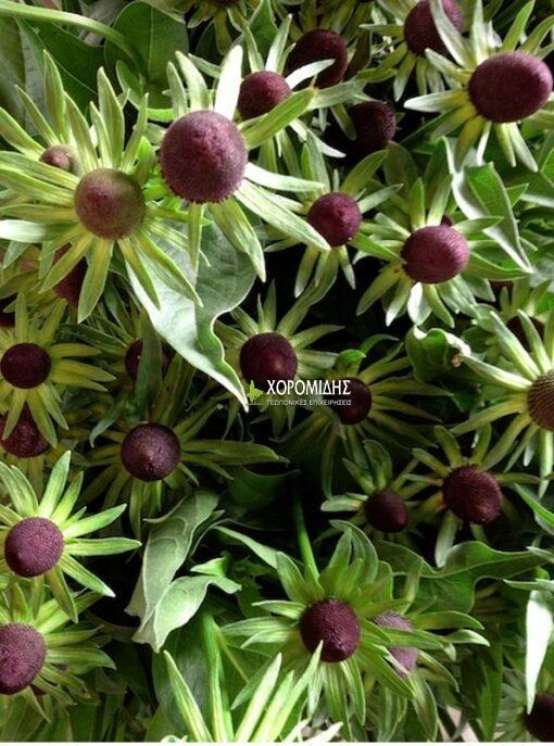 RUDBECKIA OCCIDENTALIS GREEN WIZARD (ΡΟΥΝΤΜΠΕΚΙΑ) / Γεωπονικές Επιχειρήσεις Χορομίδης: γλάστρες, φυτά, καρποφόρα, αειθαλή, φυτοχώματα, λιπάσματα, εργαλεία και είδη κήπου | Horomidis Agronomic Corp. Flower pots, plants, garden utensils and supplies, evergreens, fruit trees, fertilizer, soil
