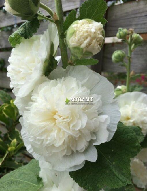 ALCEA ROSEA CHATER'S DOUBLE BLANC (ΑΛΘΑΙΑ) / Γεωπονικές Επιχειρήσεις Χορομίδης: γλάστρες, φυτά, καρποφόρα, αειθαλή, φυτοχώματα, λιπάσματα, εργαλεία και είδη κήπου | Horomidis Agronomic Corp. Flower pots, plants, garden utensils and supplies, evergreens, fruit trees, fertilizer, soil