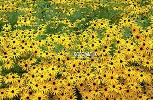RUDBECKIA FULGIDA VAR. DEAMII (ΡΟΥΝΤΜΠΕΚΙΑ)/ Γεωπονικές Επιχειρήσεις Χορομίδης: γλάστρες, φυτά, καρποφόρα, αειθαλή, φυτοχώματα, λιπάσματα, εργαλεία και είδη κήπου | Horomidis Agronomic Corp. Flower pots, plants, garden utensils and supplies, evergreens, fruit trees, fertilizer, soil