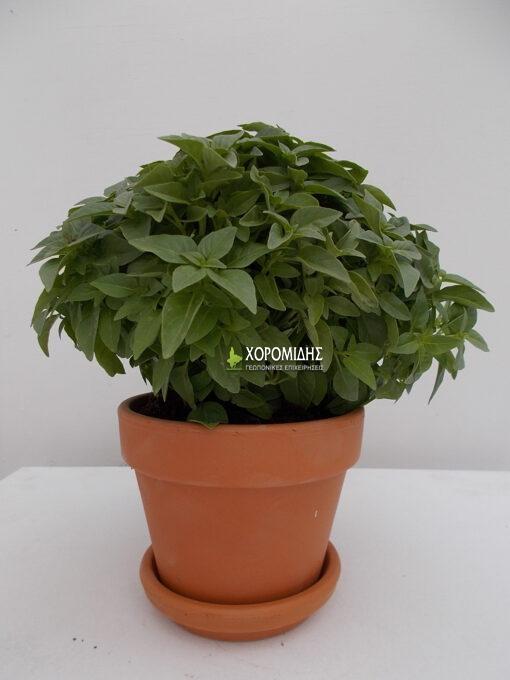 OCIMUM BASILICUM (ΒΑΣΙΛΙΚΟΣ)/ Γεωπονικές Επιχειρήσεις Χορομίδης: γλάστρες, φυτά, καρποφόρα, αειθαλή, φυτοχώματα, λιπάσματα, εργαλεία και είδη κήπου | Horomidis Agronomic Corp. Flower pots, plants, garden utensils and supplies, evergreens, fruit trees, fertilizer, soil