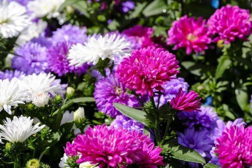 "ASTER SP. (ΑΣΤΕΡ Ή ΜΑΡΓΑΡΙΤΑ ""ΑΣΤΕΡΑΚΙ"")   Φυτώρια/Γεωπονικές Επιχειρήσεις Χορομίδης: γλάστρες, φυτά, καρποφόρα, αειθαλή, φυτοχώματα, λιπάσματα, εργαλεία και είδη κήπου   Horomidis Agronomic Corp. Flower pots, plants, garden utensils and supplies, evergreens, fruit trees, fertilizer, soil"